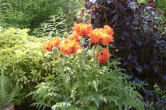 After - The orange poppies (papaver turkenlois) are stunning against the weeping purple beech (fagus sylvatica purpurea)