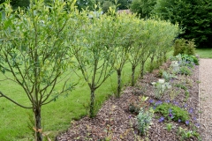Platted trunk willow hedge