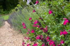 Salvia hot pink viewed along the lavender hedge