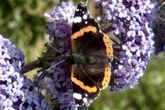 Red Admiral Buttery