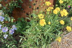 After - mixed herbaceous border (scabious, coreopsis)