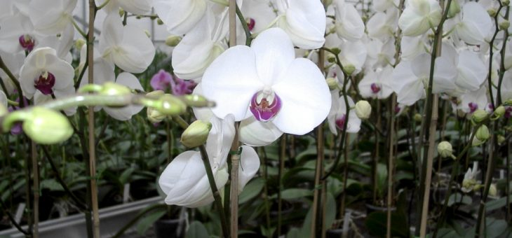 Title: Myth #88: Orchids are difficult to grow