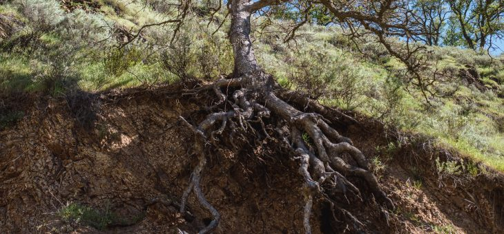 Myth #76: Some trees have deep taproots